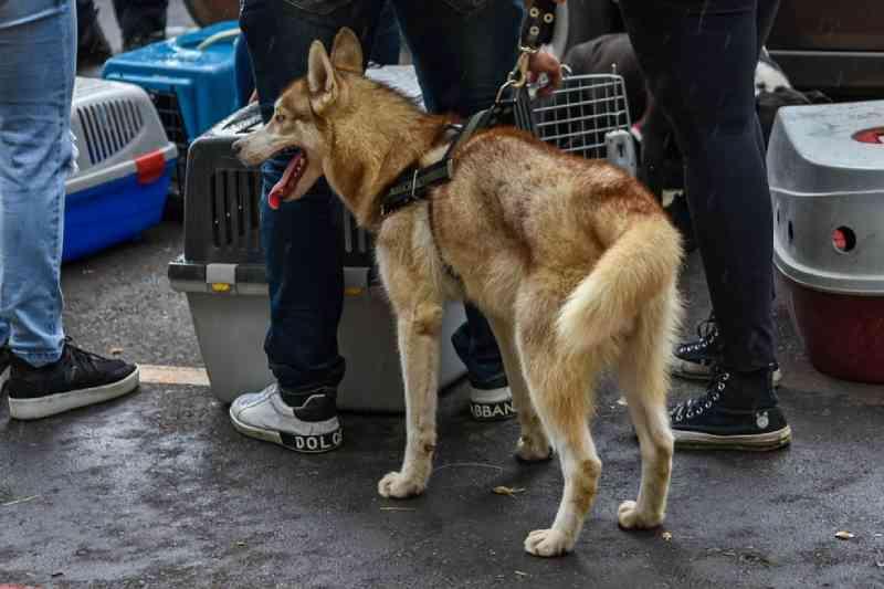 Casal é preso suspeito de maus-tratos ao tentar vender cachorro com orelhas mutiladas em Piracicaba, SP