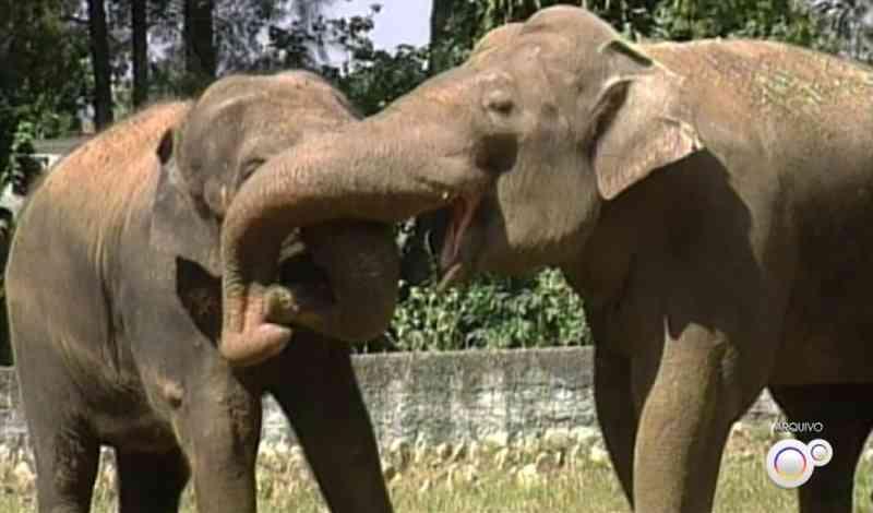 Prefeitura negocia possível transferência do elefante Sandro para santuário após morte de companheira Haisa no zoo de Sorocaba, SP