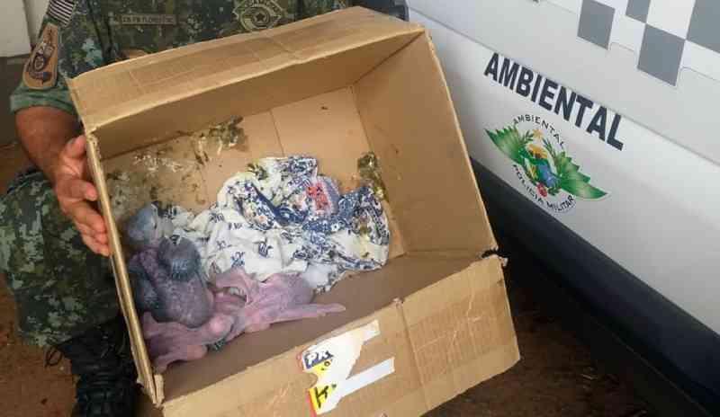 Filhotes de arara-canindé são abandonados em caixa de papelão no trevo de acesso a Teodoro Sampaio, SP