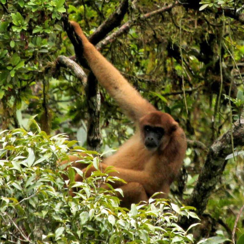 Ministério Público amplia áreas protegidas para macacos muriquis em distrito de São José dos Campos, SP