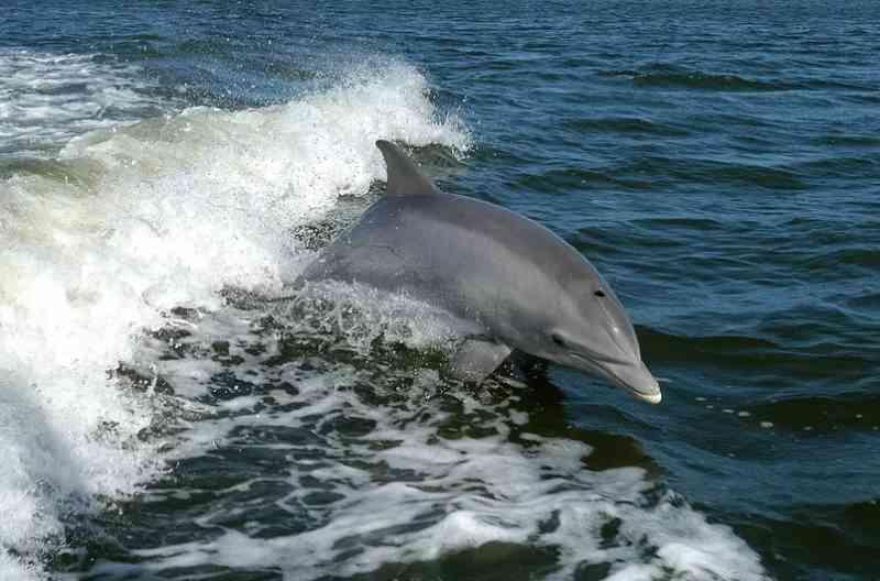 Doença fatal na pele de golfinhos está ligada a mudanças climáticas, diz estudo