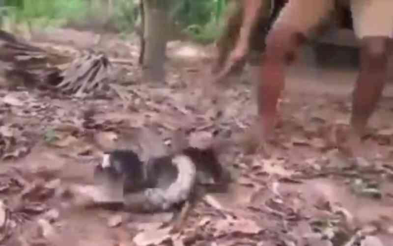 Homem salva cachorro que era imobilizado por cobra sem matá-la; veja vídeo