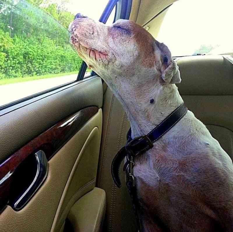 Mulher leva sua cachorra debilitada para um último passeio de carro para ela respirar o ar puro entrando pela janela