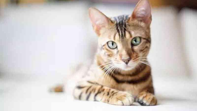 Projeto tipifica como crime de maus-tratos a cirurgia que retira garras de gatos