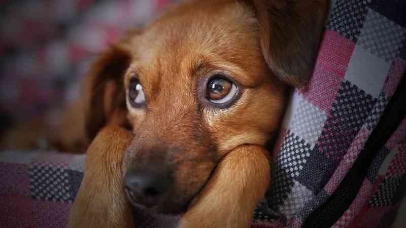Pesquisadores da UFPR descartam transmissão de coronavírus de cães para humanos