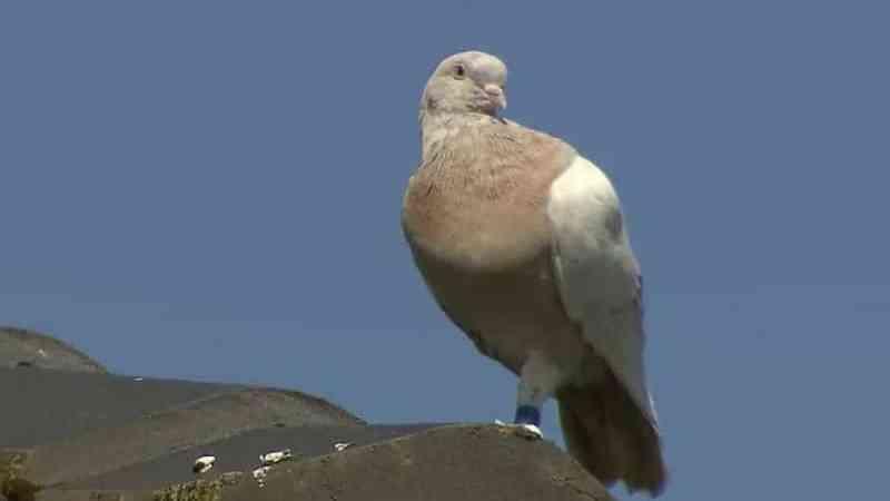 Austrália quer abater pombo que atravessou o Oceano Pacífico desde os EUA