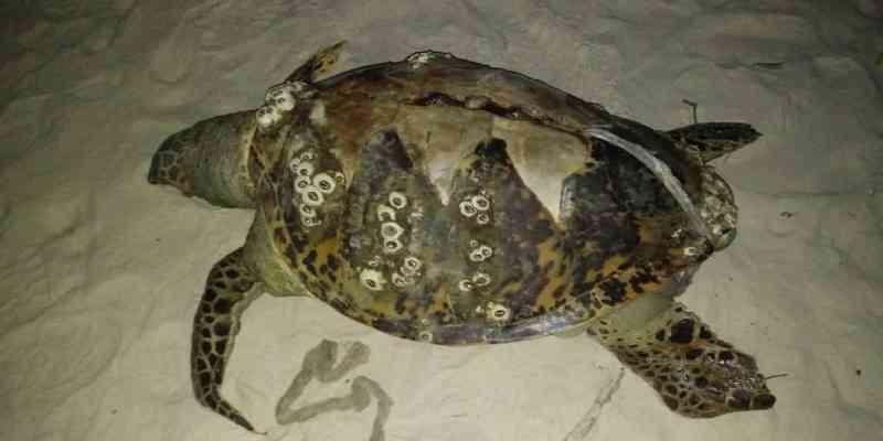 Três tartarugas são encontradas encalhadas no sul da Bahia; 35 animais marinhos foram achados mortos esse mês