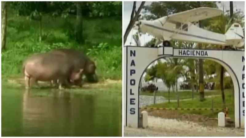 Hipopótamos de Pablo Escobar: parte dos cientistas quer a morte dos animais