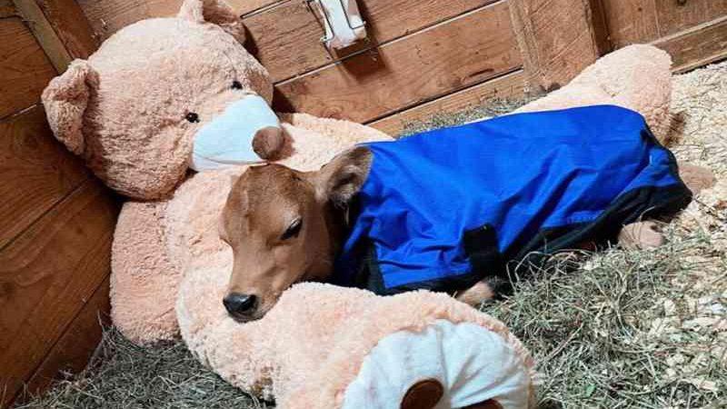 Bezerro cego é levado para santuário após ser maltratado pela indústria leiteira