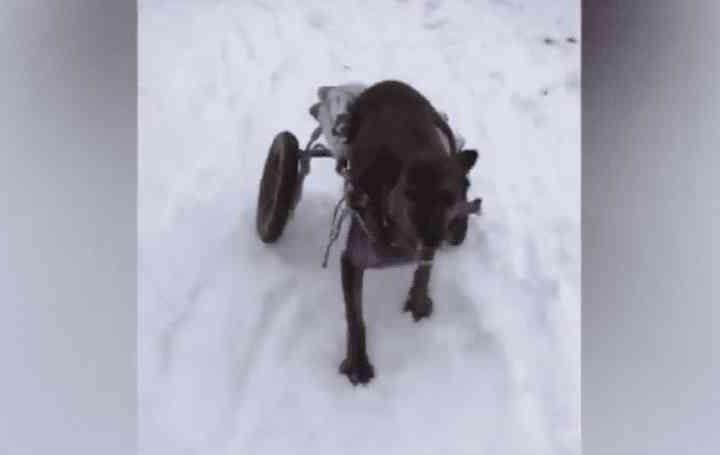 Cães paraplégicos divertem-se na neve nos EUA