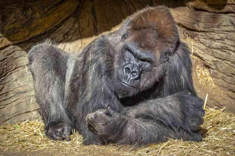 Gorilas do Zoo de San Diego (EUA) infectados com novo coronavírus