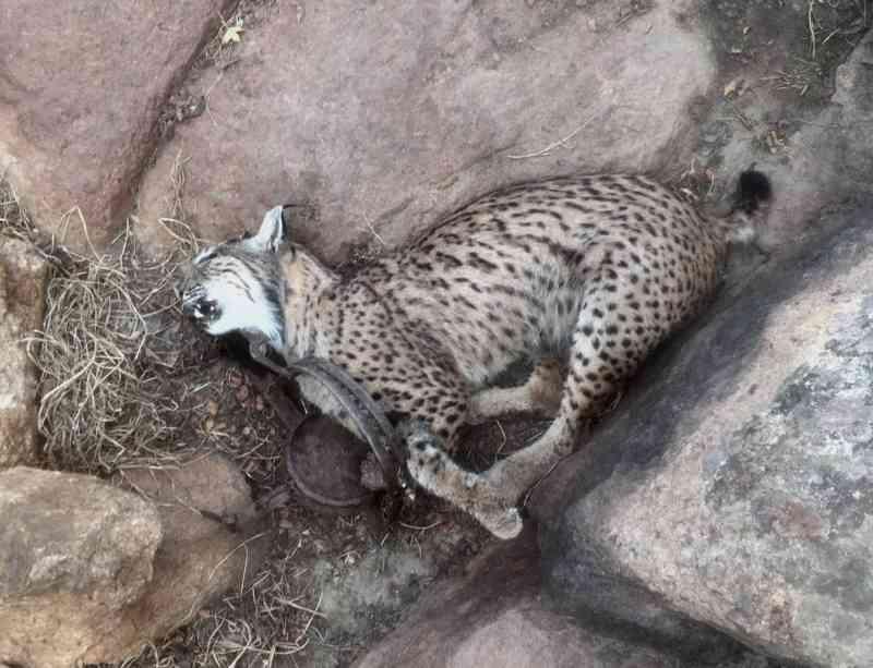 Quatro linces-ibéricos mortos 'às mãos de caçadores' desde o início do ano em Castilla-La Mancha, Espanha