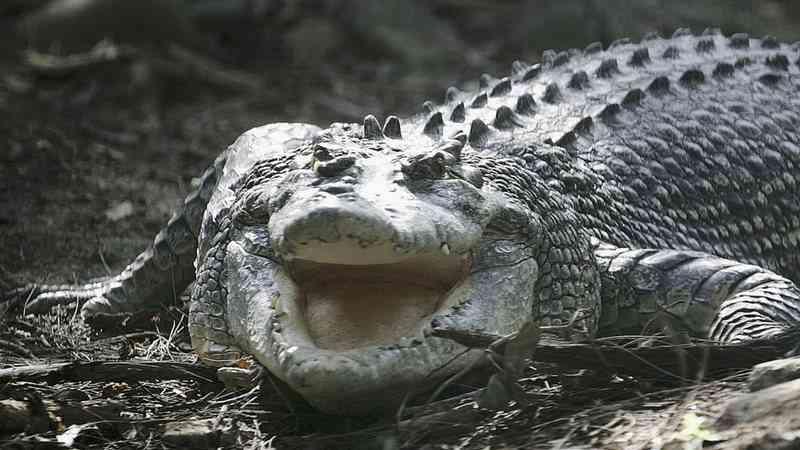 Crocodilo é abusado e reage atacando mulher após grupo posar para foto em Gana; vídeo
