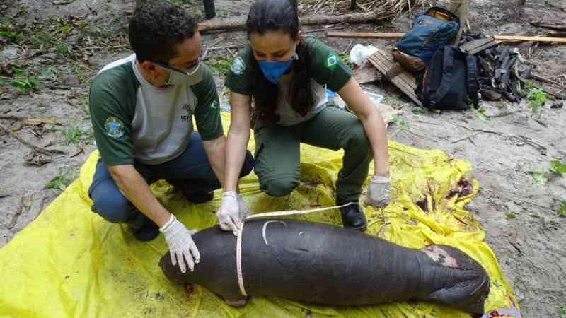 Filhote de peixe-boi é encontrado morto em Humberto de Campos, no Maranhão