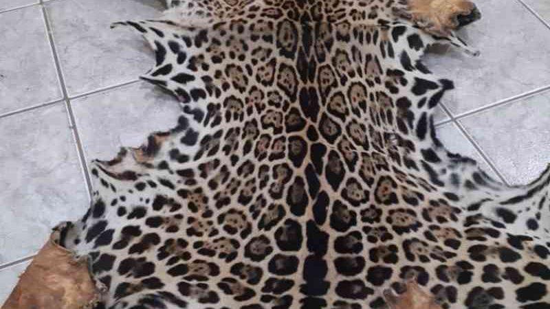 Homem é autuado em mais de R$13 mil por armazenar couro de onça-pintada em Ituiutaba, MG