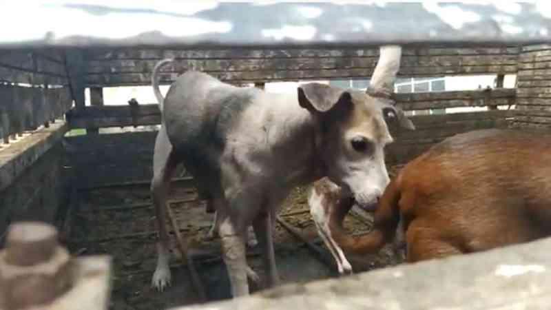 Bombeiros resgatam mais de 10 cães em situação de abandono e desnutrição em São Gonçalo do Pará, MG