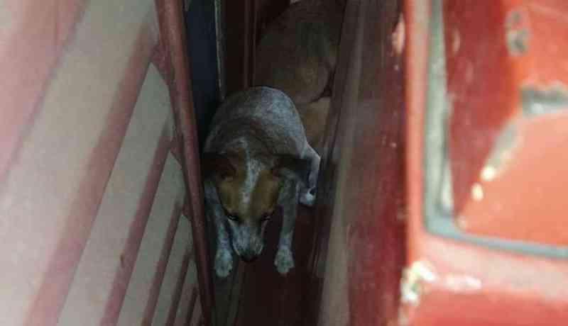 Cãozinho se assusta com fogos e fica preso entre muros em Uberlândia, MG