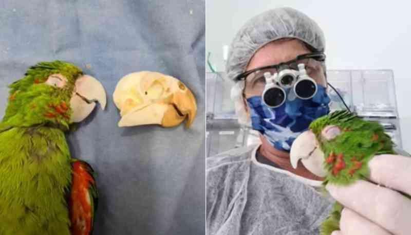 Maritaca que teve bico destruído ganha nova vida após veterinários o reconstituírem