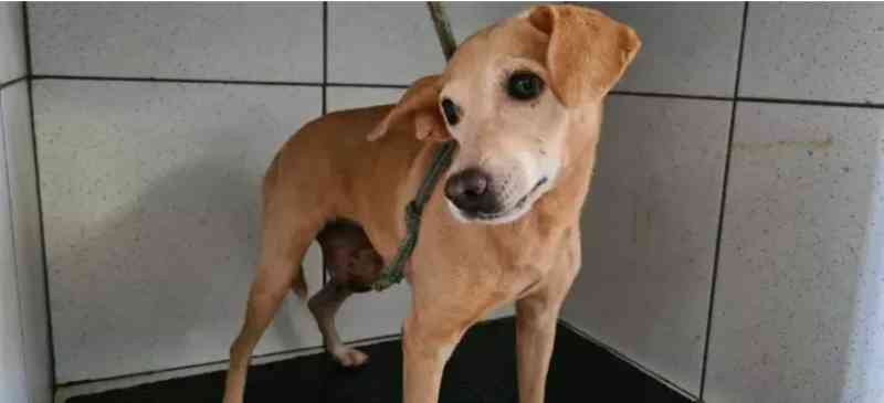 Cadela com câncer e pit bull são abandonados sem comida em casa, em Campo Grande, MS