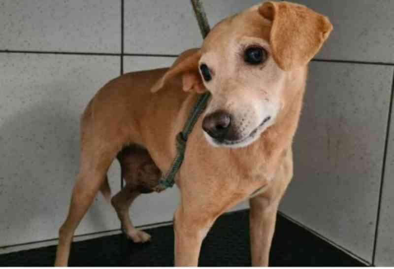 Cadela que sofria maus-tratos de pit bull e deixada pelo tutor sem alimento e água é resgatada