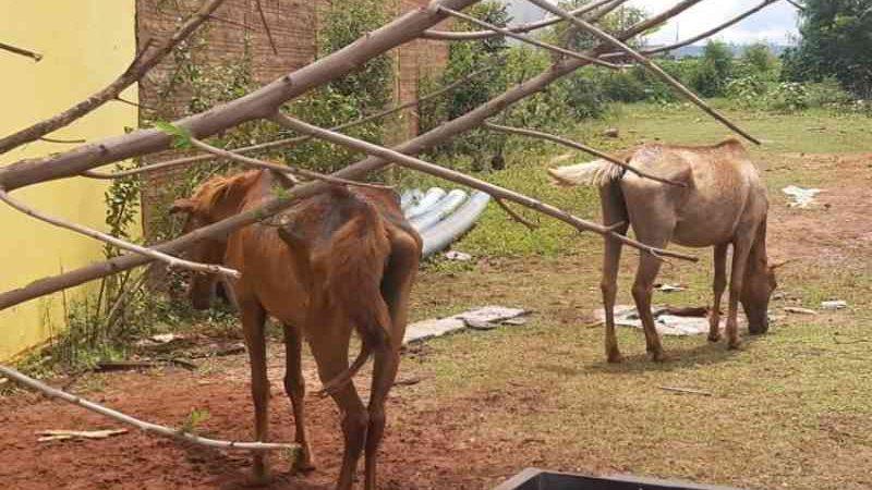 Acusado de maus-tratos diz que comprava cavalos debilitados para 'engorda' e venda a frigoríficos