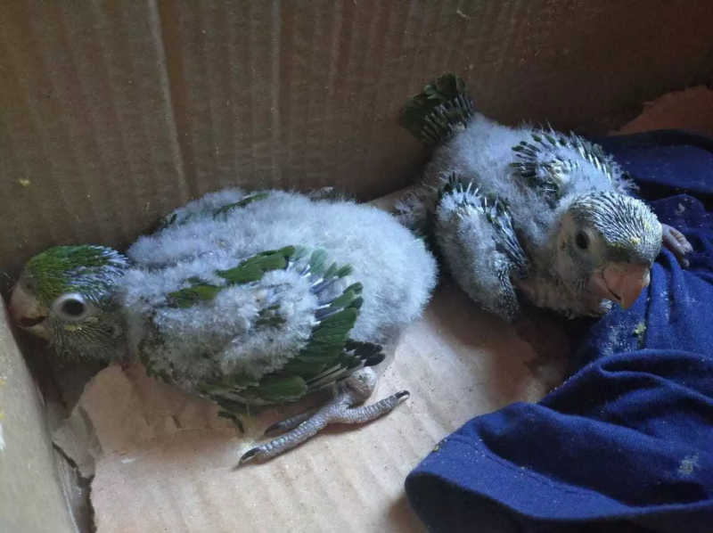 Filhotes de maritaca são encontrados em caixa de papelão em Anaurilândia, MS