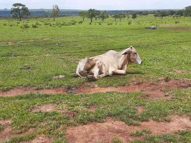 Fazendeiro é multado em R$ 8 mil por deixar 14 bovinos morrerem de fome em MS