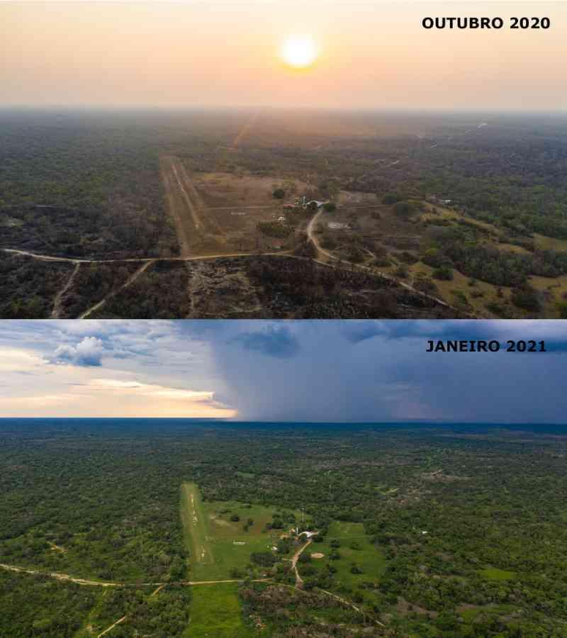 Árvores começam a dar frutos no Pantanal após queimadas e animais são vistos se alimentando; veja antes e depois