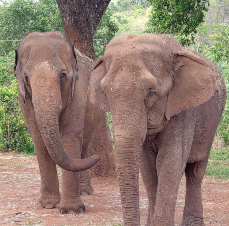 'Bambi fica na manada': campanha pede apoio de ONGs para elefanta NÃO VOLTAR a zoológico