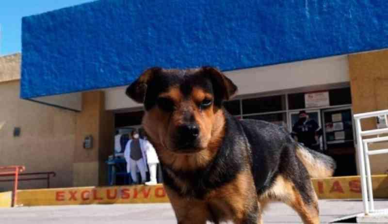 Cão espera na porta de hospital há um mês por tutor que morreu de covid-19