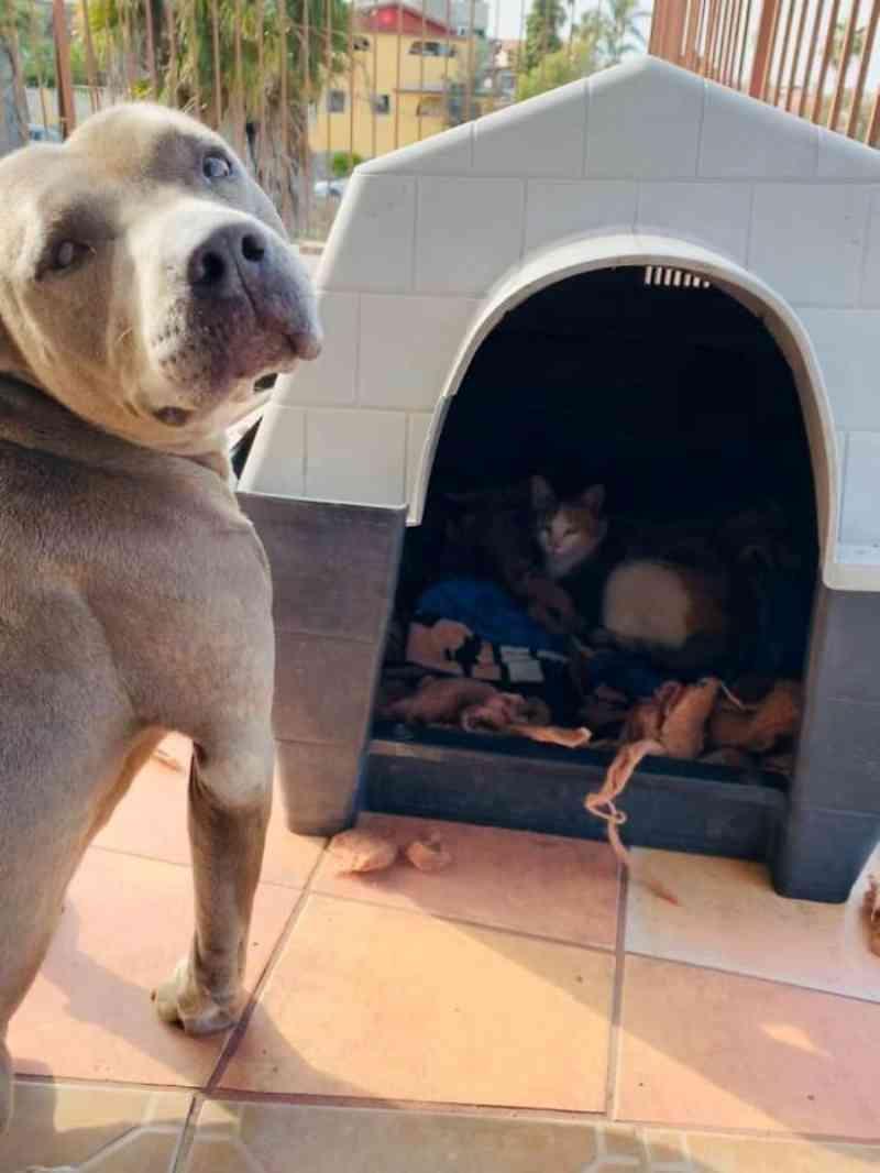 Pit bull acolhe gata grávida em sua casinha para que ela dê à luz