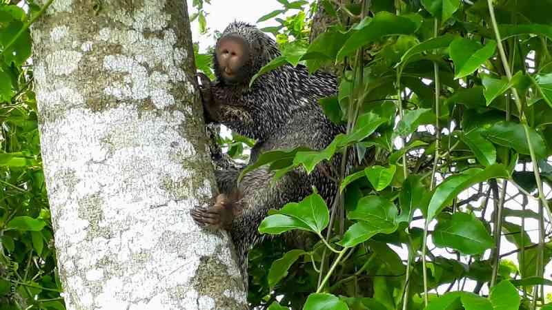 Estudante de biologia protege ouriço-cacheiro e evita captura do animal ameaçado por 'fake news'