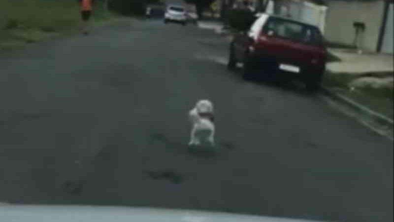 Vídeo flagra cadela correndo atrás de carro após ser abandonada em Curitiba (PR); tutor é preso por maus-tratos