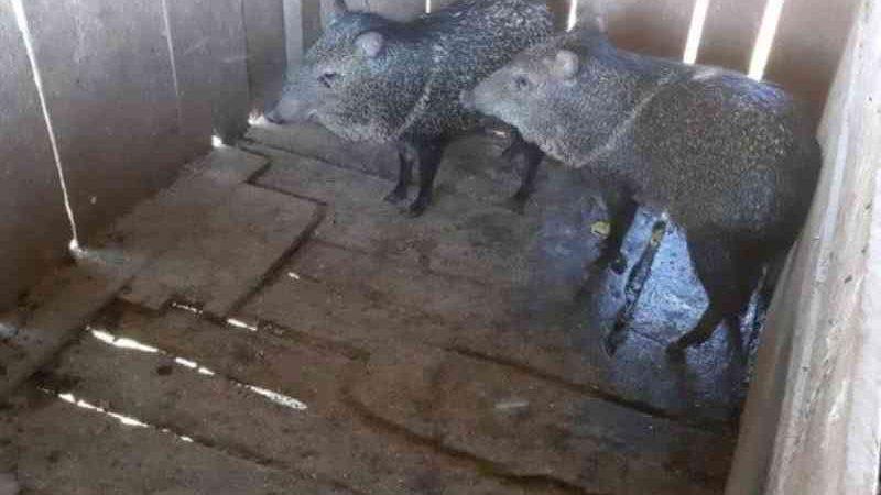 Porcos-do-mato mantidos em cativeiro ilegal são resgatados em São Miguel do Iguaçu, PR