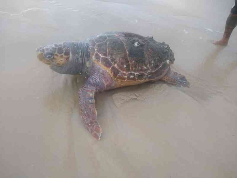 Guardas encontram tartaruga-marinha morta na Praia de São Conrado, Zona Sul do Rio