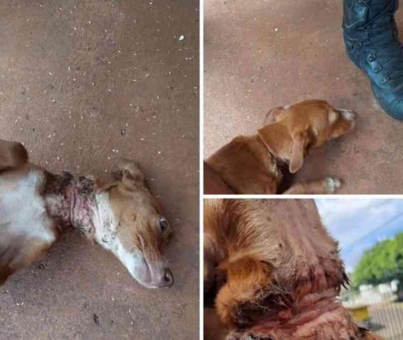 Cachorro tem pele do pescoço rompida por corda em Erechim, RS