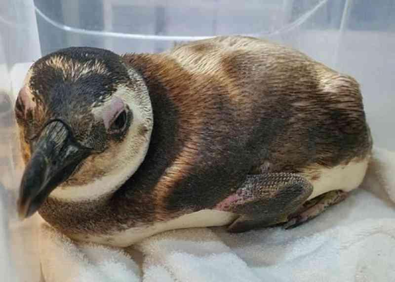 Pinguim é encontrado em praia de São Francisco do Sul, SC