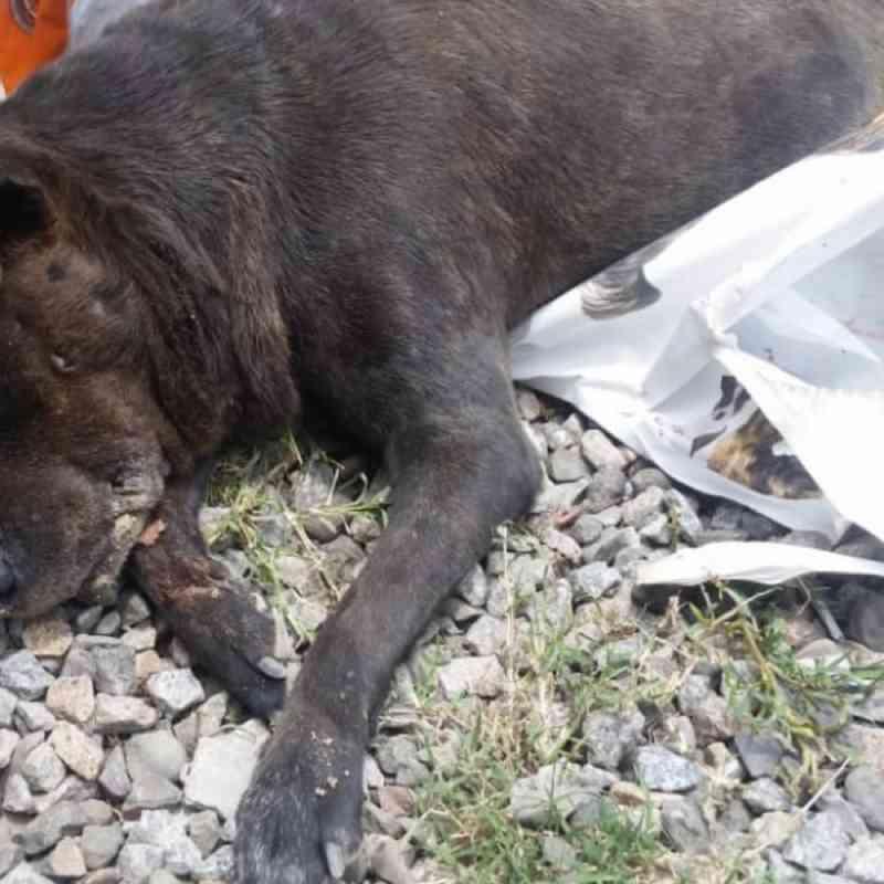 Doze cães são envenenados no interior de Tubarão (SC), alguns dentro de cercados