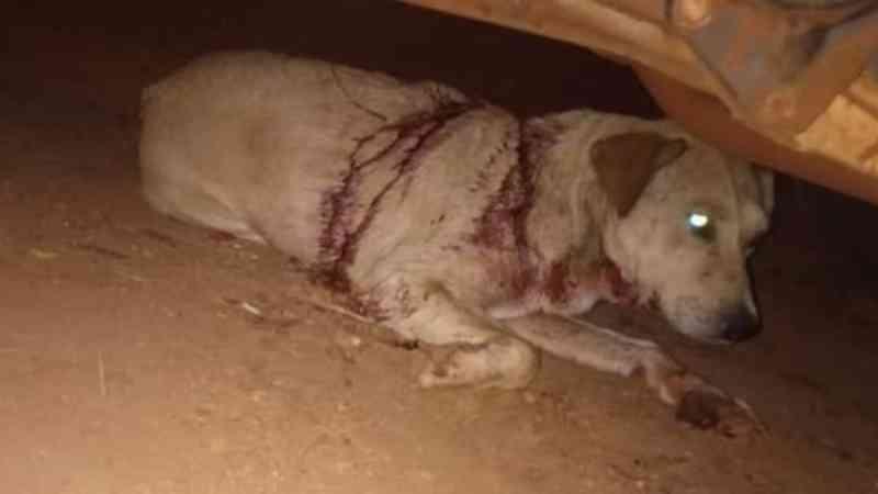 Cachorro comunitário é agredido com golpes de facão em Araraquara, SP