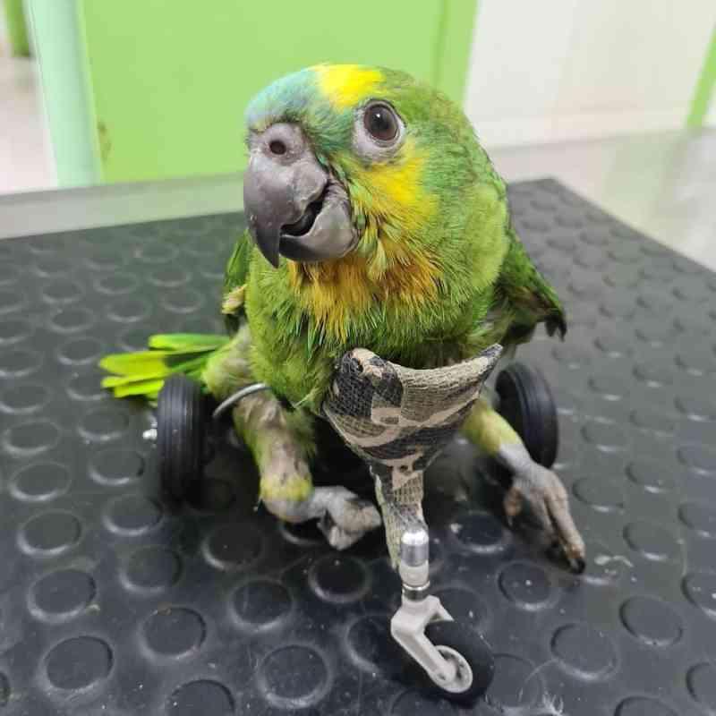 Papagaio com problema na coluna ganha cadeira de rodas feita por veterinária de Barretos, SP