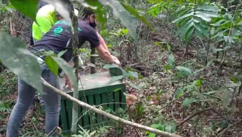 Quati atropelado em rodovia é devolvido à natureza após recuperação em Jundiaí, SP