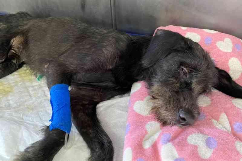Cão paraplégico é resgatado por moradores enquanto se afogava em rio no interior de SP
