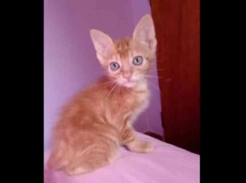 Protetores fazem campanha para tratar gato com doença rara no interior de SP