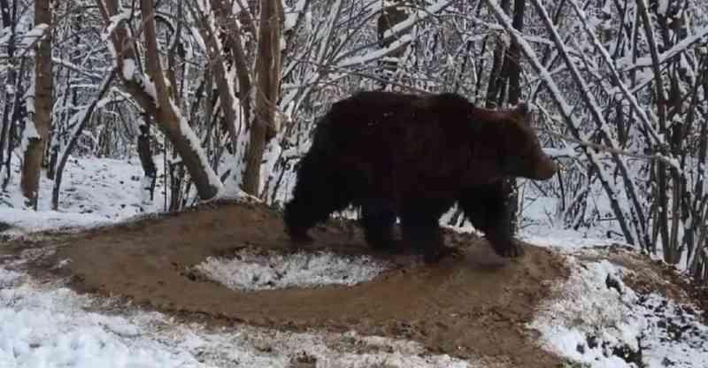 Uma gaiola imaginária: urso vive circulando após 20 anos trancado em um zoológico