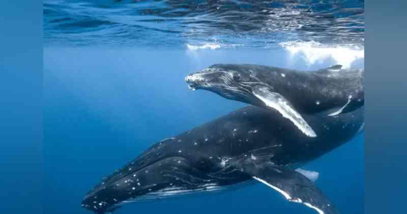 Após 40 anos de proibição da caça, baleias-azuis finalmente retornam às regiões polares