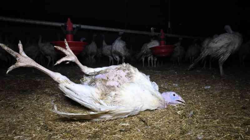 'Chocante' diz ONG sobre violência em fazendas britânicas que abastecem supermercados com perus no Natal