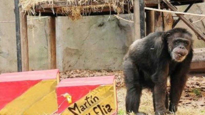 Chimpanzé Martín morre no zoológico de Buenos Aires, na Argentina