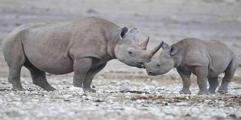 Caça aos rinocerontes diminuiu em 33% na África do Sul