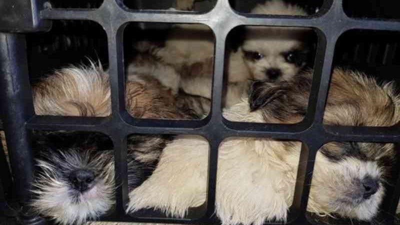Justiça libera adoção de filhotes de shih-tzu encontrados amontoados em caixas dentro de carro