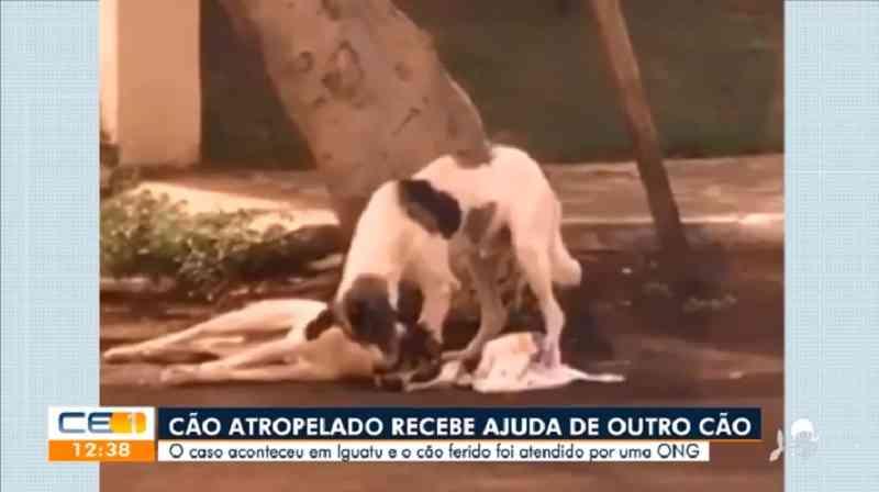Cão atropelado é cuidado por 'amigo' por mais de uma noite até ser socorrido no Ceará